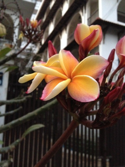 a view from the frangipani flowers on my street